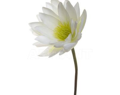 7A52N00002 Водяная лилия  белая 84 см (8)